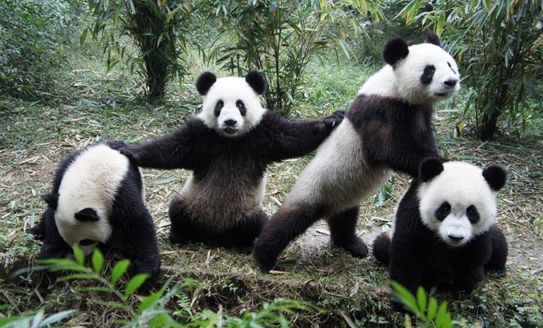 Resultado de imagen de chengdu panda