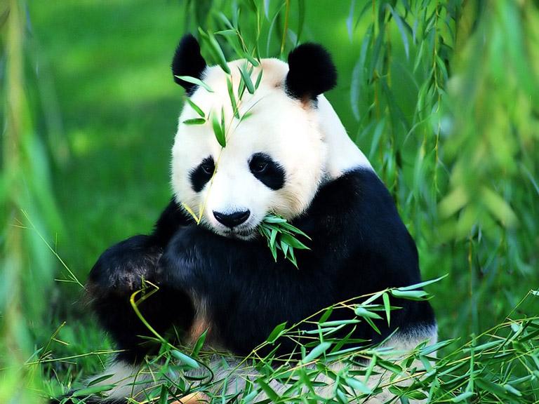 Learn about Giant Panda, Panda Bear - Giant Panda Facts