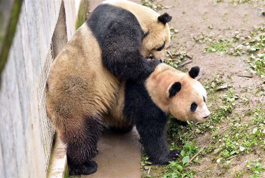 Giant Panda Super Star Tai Shan Mated Naturally In